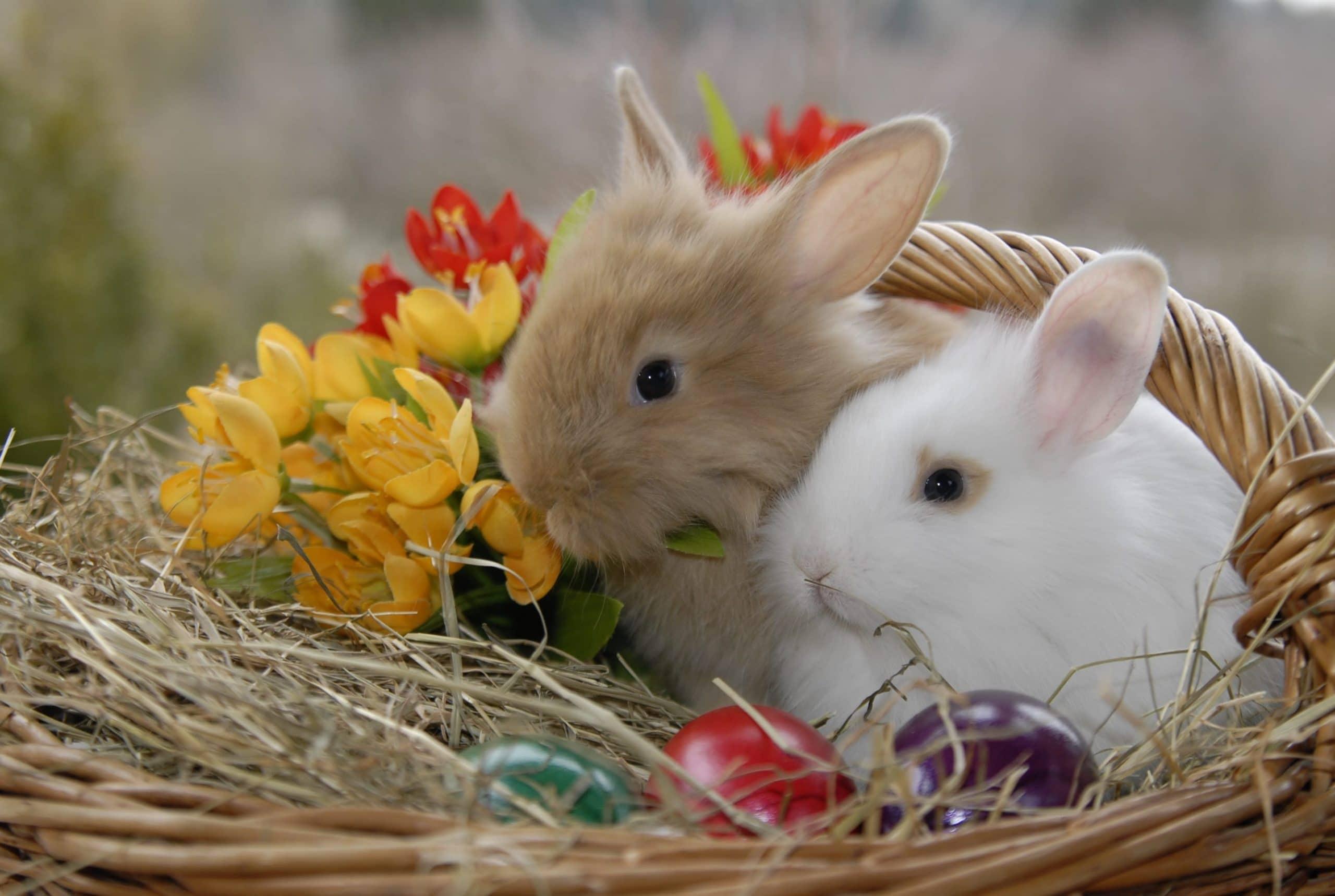 Pourquoi les lapins pondent des œufs?